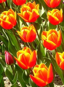 Red_and_yellow_tulips